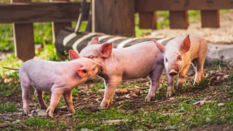 Bijna 300 varkensboeren stoppen wegens te weinig overheidssubsidie